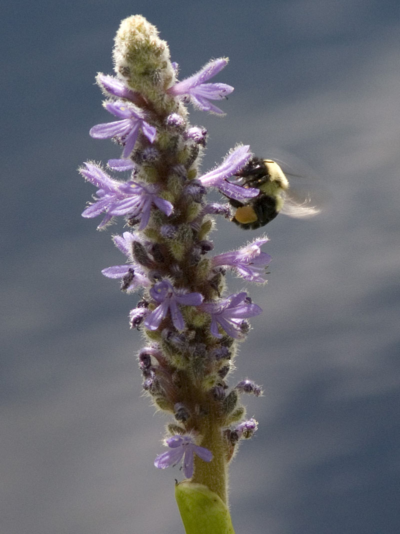 Bumblebee on Pickerelweed