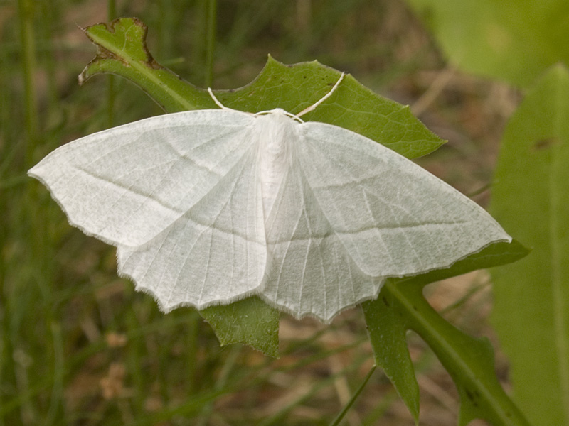 Pale Beauty (Campaea perlata)