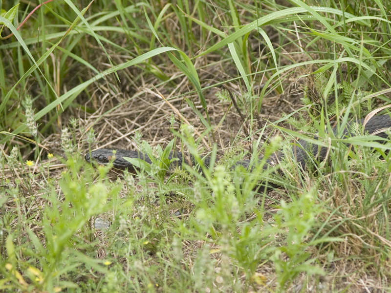 Water Snake in Grass